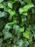 Ivy. Green leaves bush on the wall Stock Image