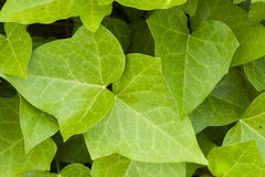 Ivy green leaves Royalty Free Stock Images