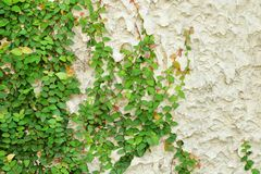Ivy green leaves covered the wall. background of natural tree fence for design art work with copy space.  royalty free stock photography