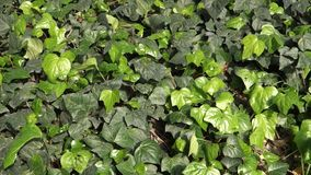 Ivy stock footage