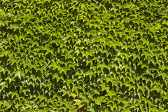 Ivy. Green leaves of wild ivy covered wall Royalty Free Stock Photo
