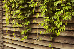 Ivy green lianas over fence Stock Image