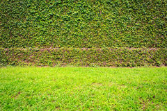 Ivy or green plant grows on the wall Stock Photography
