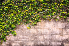Ivy or green plant grows on the wall Royalty Free Stock Photography