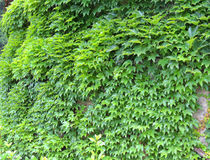 Ivy green. Stock Photography
