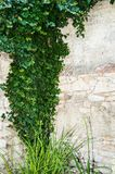 Ivy. Green Ivy on the white wall Royalty Free Stock Photos
