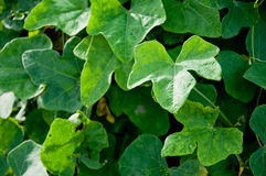 Ivy ground Royalty Free Stock Photography