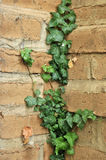 Ivy Growing on an Adobe Brick Wall Royalty Free Stock Photo
