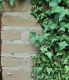 Ivy Growing on an Adobe Brick Wall Stock Images