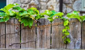 Ivy growing along the top of a worn wooden fence with blurred stone wall in the background. Ivy is growing along the top of a worn wooden fence with blurred Royalty Free Stock Photo