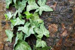 Ivy growing on bark Stock Photo