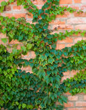 Ivy growing Royalty Free Stock Photography