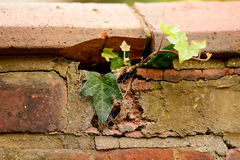 Ivy growing through brick wall Stock Image