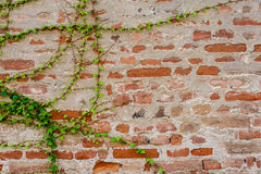 Ivy growing on a brick wall Royalty Free Stock Images