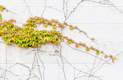 Ivy growing on the concrete wall, exterior decoration. Royalty Free Stock Image