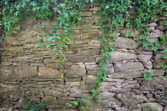 Ivy growing on a dry stone wall Royalty Free Stock Images