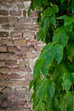 Ivy growing on old brick wall Royalty Free Stock Photo