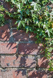 Ivy growing on an old brick wall, vertical. Royalty Free Stock Photography