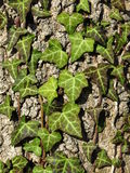 Ivy growing on a old tree Stock Images