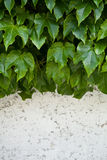 Ivy growing on old wall Royalty Free Stock Photos