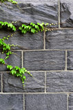 Ivy Growing On Wall Royalty Free Stock Images