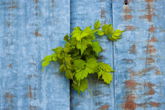 Ivy growing from rusted shed wall Stock Photo