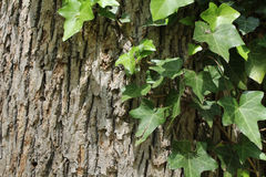 Ivy. Growing on side of tree Stock Photos