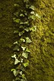 Ivy Growing sur Moss Covered Tree Trunk photos stock
