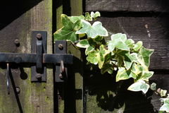 Ivy growing toward gate latch. Variegated green and yellow ivy in bright sunlight growing toward gate-latch with wooden gate and panel Stock Photos