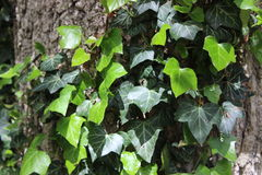 Ivy growing on a tree Royalty Free Stock Image