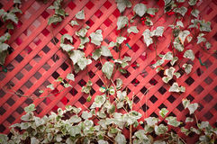 Ivy growing on a trellis. Ivy growing on a rustic red wooden trellis Royalty Free Stock Images
