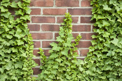 Ivy growing up a brick wall Stock Photos