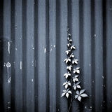 Ivy growing up a Corrugated Metal wall. Royalty Free Stock Photo