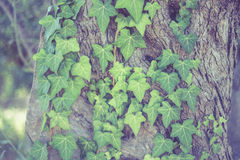 Ivy growing up on a large tree in wood Royalty Free Stock Image
