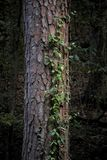 Ivy growing up a tree. An ivy vine growing up a tree in the woods Royalty Free Stock Images