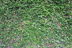 Ivy growing up the wall. Green ivy growing up the wall stock images