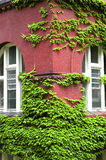 Ivy Growing on Wall Stock Photography