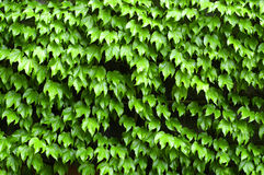Ivy Growing on Wall Royalty Free Stock Photography