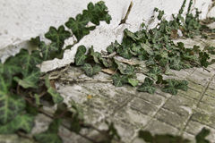 Ivy growing on the wall. Stone wall and green plants Stock Photography