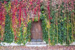 Ivy growing on a wall surrounding old wooden door