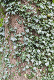 Ivy growing wild around tree trunk Stock Photos