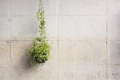 Ivy grown in plastic pots hanging on the walls. Royalty Free Stock Image