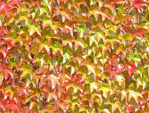 Ivy Growning up a Wall -  Background Royalty Free Stock Photography