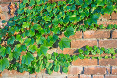 Ivy Grows on a Brick Wall in Schenectady, NY Stock Photo
