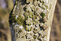 Ivy grows on a tree trunk Stock Image