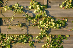 Ivy grows on wooden plank fence Stock Photo