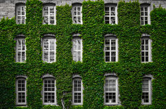 Ivy growth on building Royalty Free Stock Photo