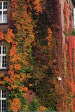 Ivy growth to 3 floors. Ivy growth in the 3rd floor on a brick wall of the building Stock Images