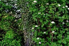 Ivy Growth on a Tree - Vineyard Lohrberg, Frankfurt / Main, Germany stock images