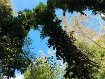 Ivy hanging from the Sky stock images